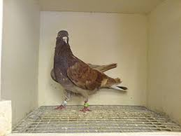 fancy pigeon wikivisually