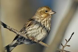 cassin finch british columbia google search birds in yard