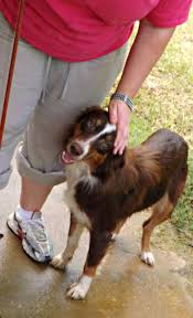 australian shepherd kidney disease claire bear rescued australian shepherd was shot at heartworm
