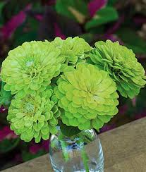 envy zinnia seeds and plants annual flower garden at burpee com