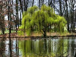permaculture plants willow temperate climate permaculture