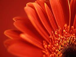Flower Screen Backgrounds - best 25 red flower wallpaper ideas on pinterest flower