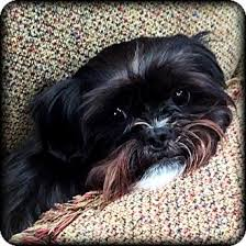 affenpinscher adults for sale ember adoption pending adopted dog jackson ms