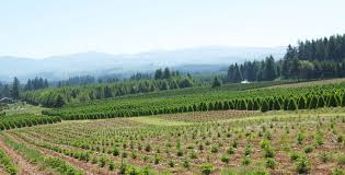 mckenzie farms wholesale christmas trees christmas trees in oregon