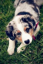 south texas australian shepherd rescue puppy eyes australian shepherd puppies training dogs and