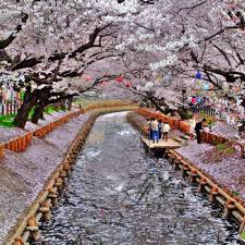 japanese cherry blossom tree meaning our s view