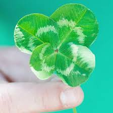 fun facts about four leaf clovers for st patrick u0027s day from