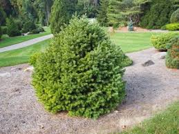 douglas fir tree douglas fir information learn about growing douglas firs in the