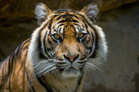 home interior tiger picture tiger poaching video from wwf continues u0027stop wildlife crime