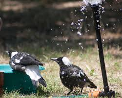 Magpie Birds In Backyards Magpies In The Backyard U2013 Waytoomuchcoffee Com
