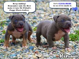 Pitbull Puppy Meme - cute pitbull dog quotes