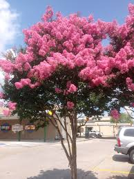 take a look at these crape myrtles lsu agcenter