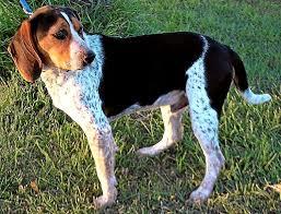 bluetick coonhound mix puppies beagle coonhound mix photo happy dog heaven