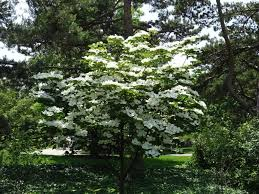 kousa dogwood tree in the yard growing tips for kousa dogwood