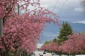 Cherry Blossom Map Blooming Now Vancouver Cherry Blossom Festival Vancouver Cherry