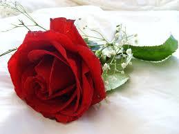 Nice Flowers Red Rose Flower Wallpaper Beautiful Flowers 2380 Full Hd Wallpaper