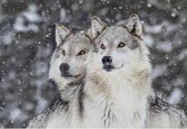 62 facts about wolves factretriever com