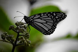 white and black monarch butterfly on green plant free stock photo