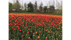 thanksgiving point tulip festival now open utah good4utah
