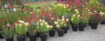 native plant nursery adelaide protea world protea plants online and nursery protea world