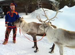 but can they really fly a few facts on reindeer the japan times