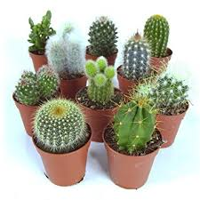 plant for office cactus mix 10 plants house office live indoor pot plant