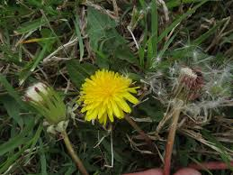 plants native to maryland maryland biodiversity project red seeded dandelion taraxacum