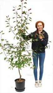 malus rudolph crab apple trees for sale