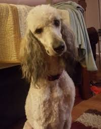 afghan hound and poodle standard poodle afghan hound mix for adoption in morristown