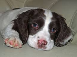 Do Brittany Spaniels Shed by Can U0027t Wait To Get My Sweet English Springer Spaniel This Summer
