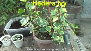 succulents meaning hedera ivy types of ivy succulent vine common succulent