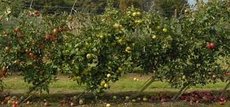 garden design ideas using fruit