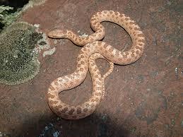 Plains Blind Snake Utah Reptile And Amphibian Information