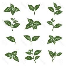 best free green tea leaf collection set vector stock leaves cdr