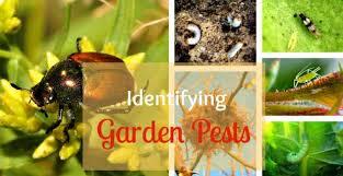 Garden Pests Identification - common garden pests on roses