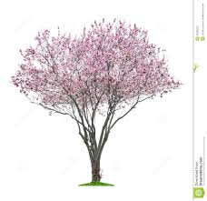 pink sacura tree stock photo image 33589220