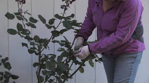 plant care u0026 gardening how to prune climbing roses for winter