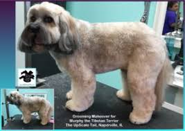 hair cuts for the tebelan terrier the upscale tail pet grooming salon in naperville il salon