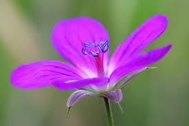 purple flower purple flower up photo free