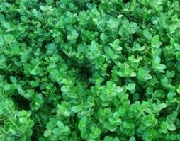 Fragrant Plants Florida - hedges florida nursery mart