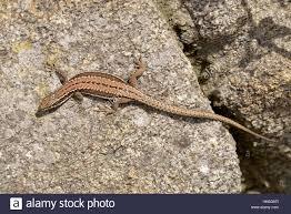 lizard leg stock photo royalty free image 101668684 alamy