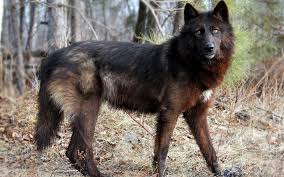 belgian shepherd wolf mix scary black wolf desktop background jpg 1920 1200 tokos