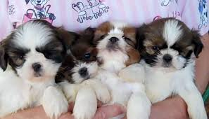 bichon frise for sale cheap healthy pups home