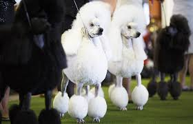 westminster show live see the best in show