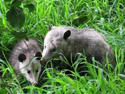 opossums have been around since the time of the dinosaurs u0026 make