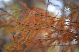 mississippi native plants bald cypress tree native plant of the month tara wildlife