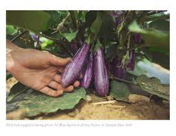 a fairy tale eggplant with a happily ever after blue apron blog
