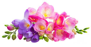 freesia flower fresh pink and violet freesia flowers photograph by anastasy