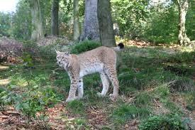 Luchsgehege Bad Harzburg Die Großkatze Kehrt Zurück 16 Jahre Luchsprojekt Harz Kur