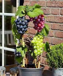 buy a container plant now grape bakker com